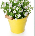 The Benefits of Ayurvedic Herb Bacopa