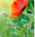 California Poppy for Sleep, Depression, and Anxiety